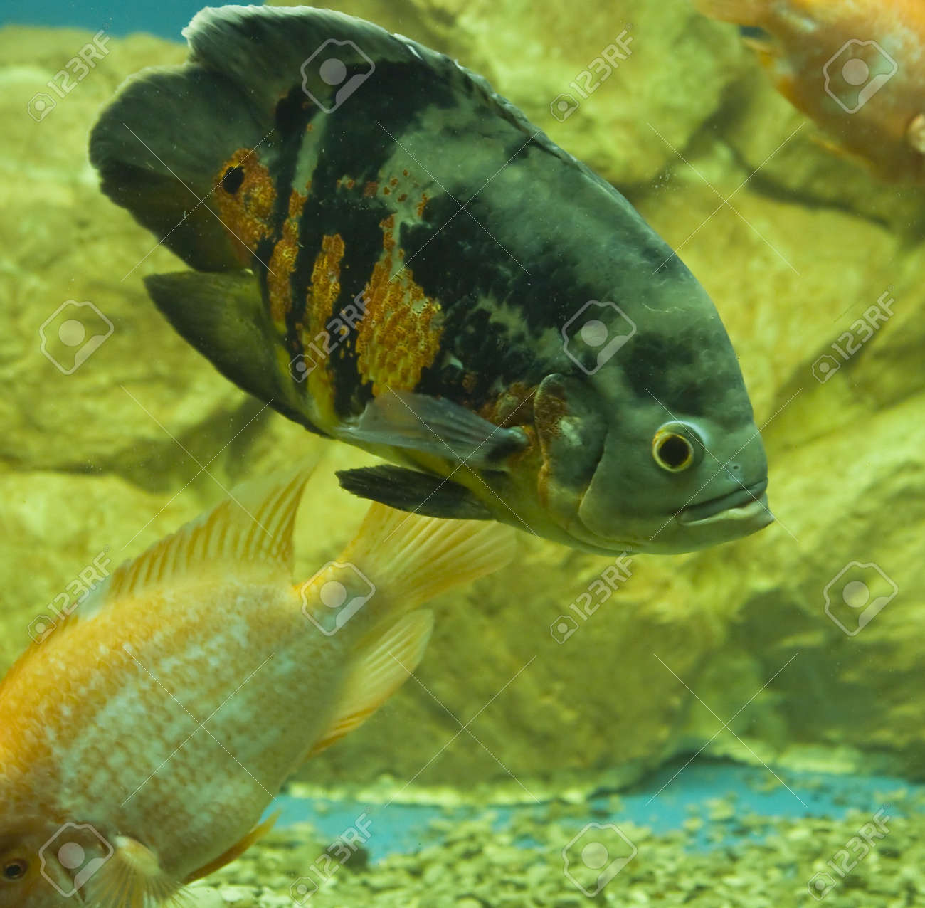 Tropical fish latin name Astronotus ocellatus, recorded in aquarium Stock Photo - 16162541