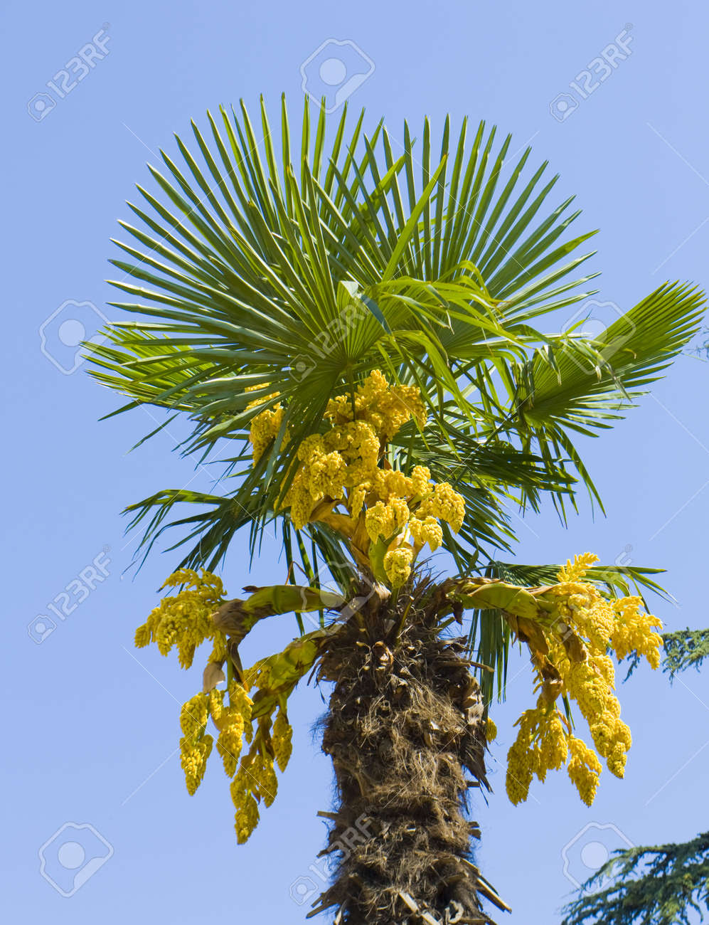 Top of palm tree on blue sky with yellow flowers stock photo stock photo top of palm tree on blue sky with yellow flowers mightylinksfo Gallery