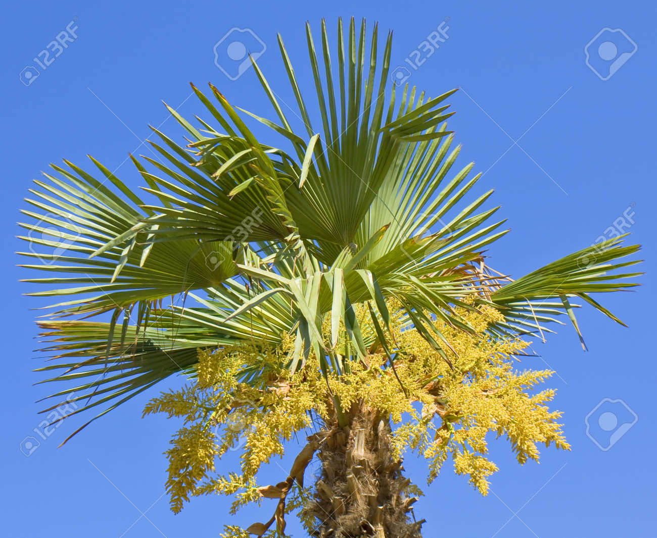 Top Of Palm With Yellow Flowers On Blue Sky Stock Photo Picture