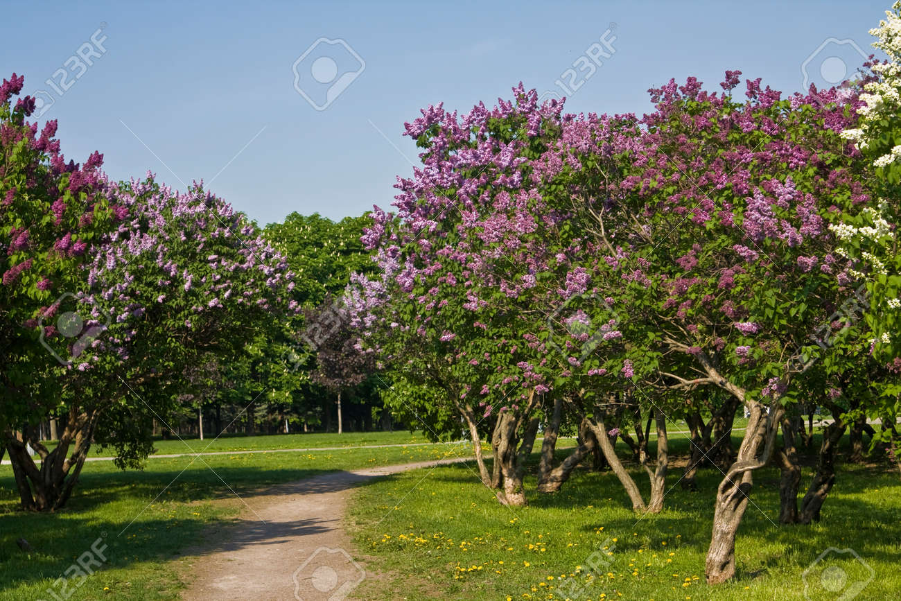 Bomen In Tuin : Lente landschap grote lila bomen in bloei in lila tuin