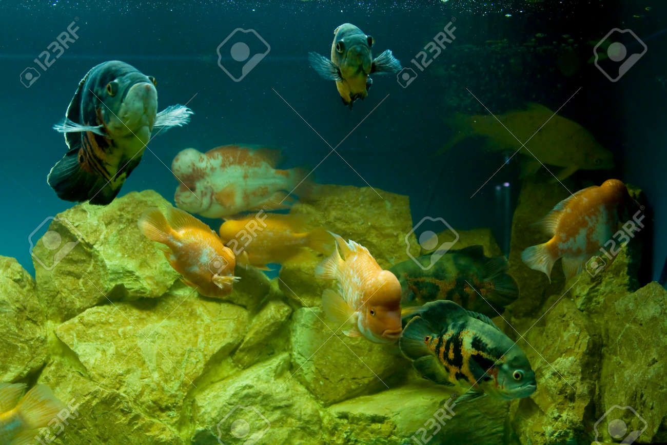 Tropical fishes Cichlasoma citrinellum and Astronotus ocellatus in aquarium. Stock Photo - 22426694