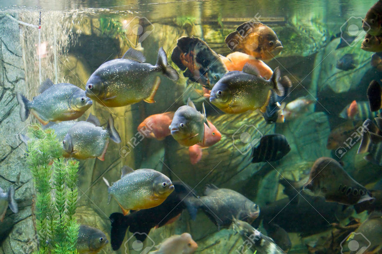 Tropical fishes in aquarium: few piranha in front, also fish-parrot (latin name Scaridae), Astronotus Ocellatus, knifefish (latin name Chitala), Tilapia buttuctikoferi Stock Photo - 22428697
