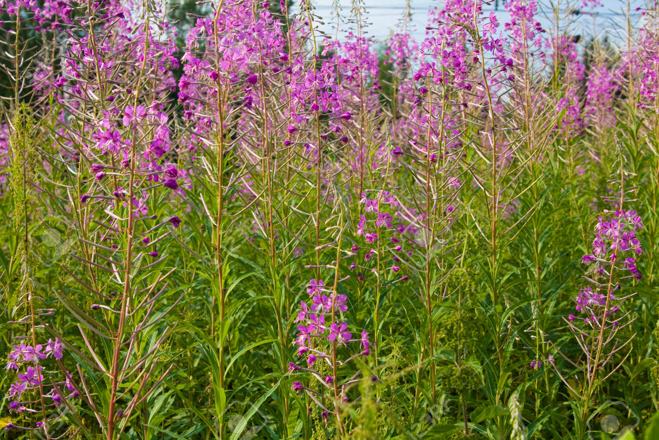 Summer meadow in blossom with pink wild flowers willowweed stock stock photo summer meadow in blossom with pink wild flowers willowweed mightylinksfo