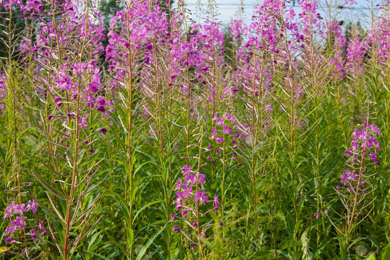 Été prairie en fleurs avec des fleurs roses sauvages willowweed