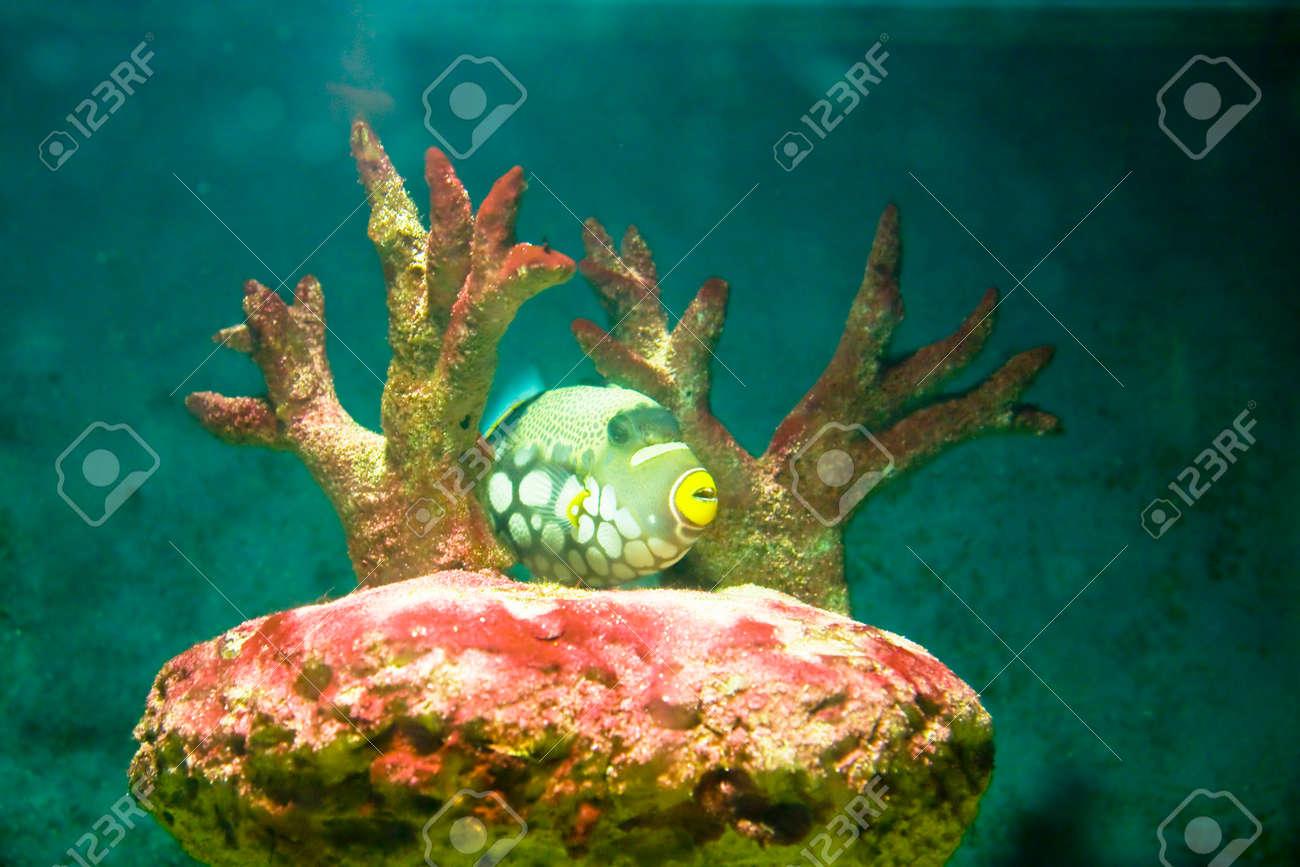 Tropical fish Clown Triggerfish, latin name Balistes conspicillum, lives in Indian ocean, and corals in aquarium. Stock Photo - 22709312
