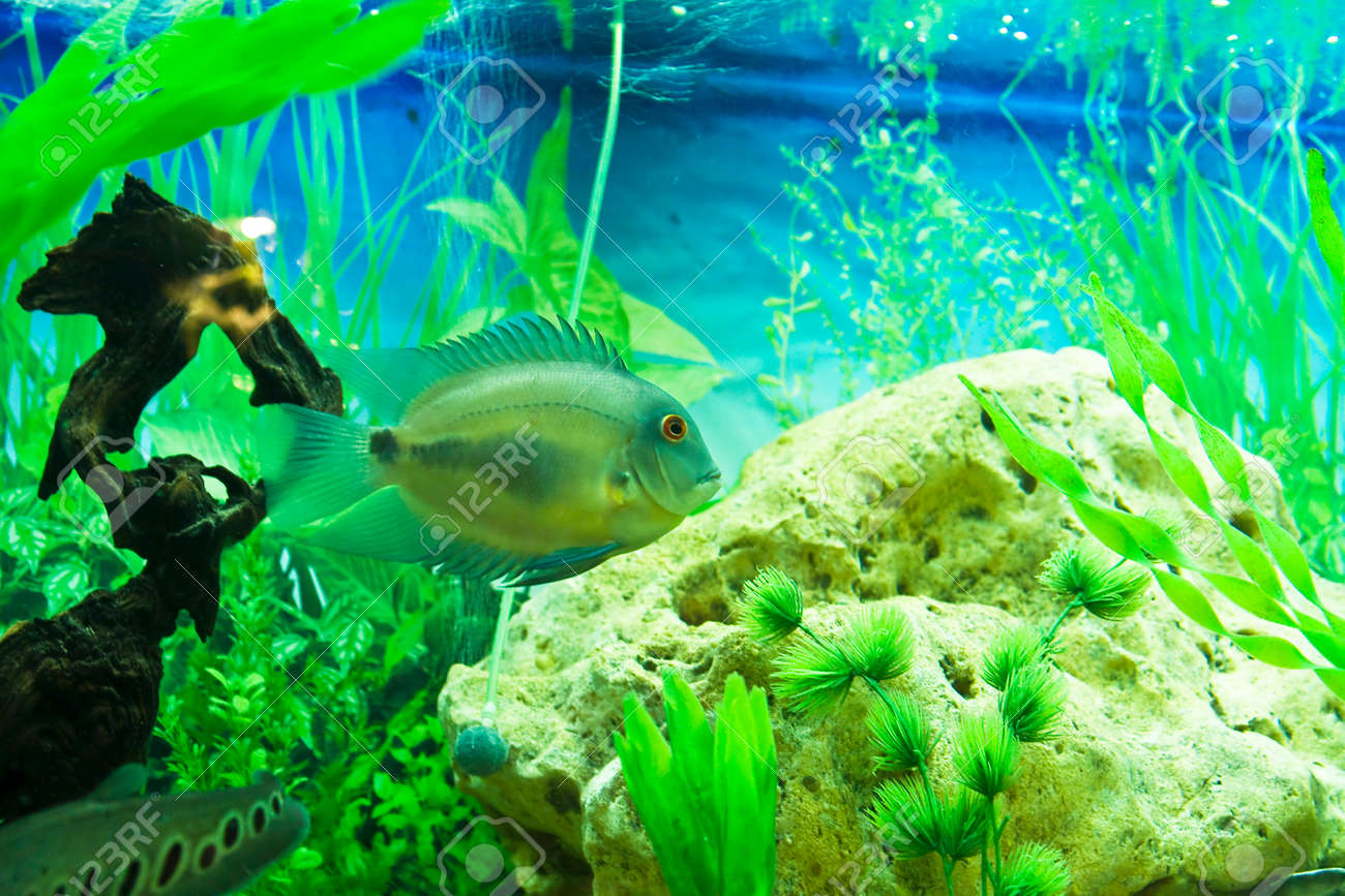 Tropical Fish Uaru Amphiacanthoides Cichlidae Lives In Latin