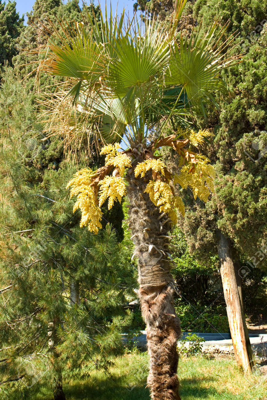 Palm with yellow flowers standing in park with other plants palm with yellow flowers standing in park with other plants vertical orientated image recorded mightylinksfo Gallery
