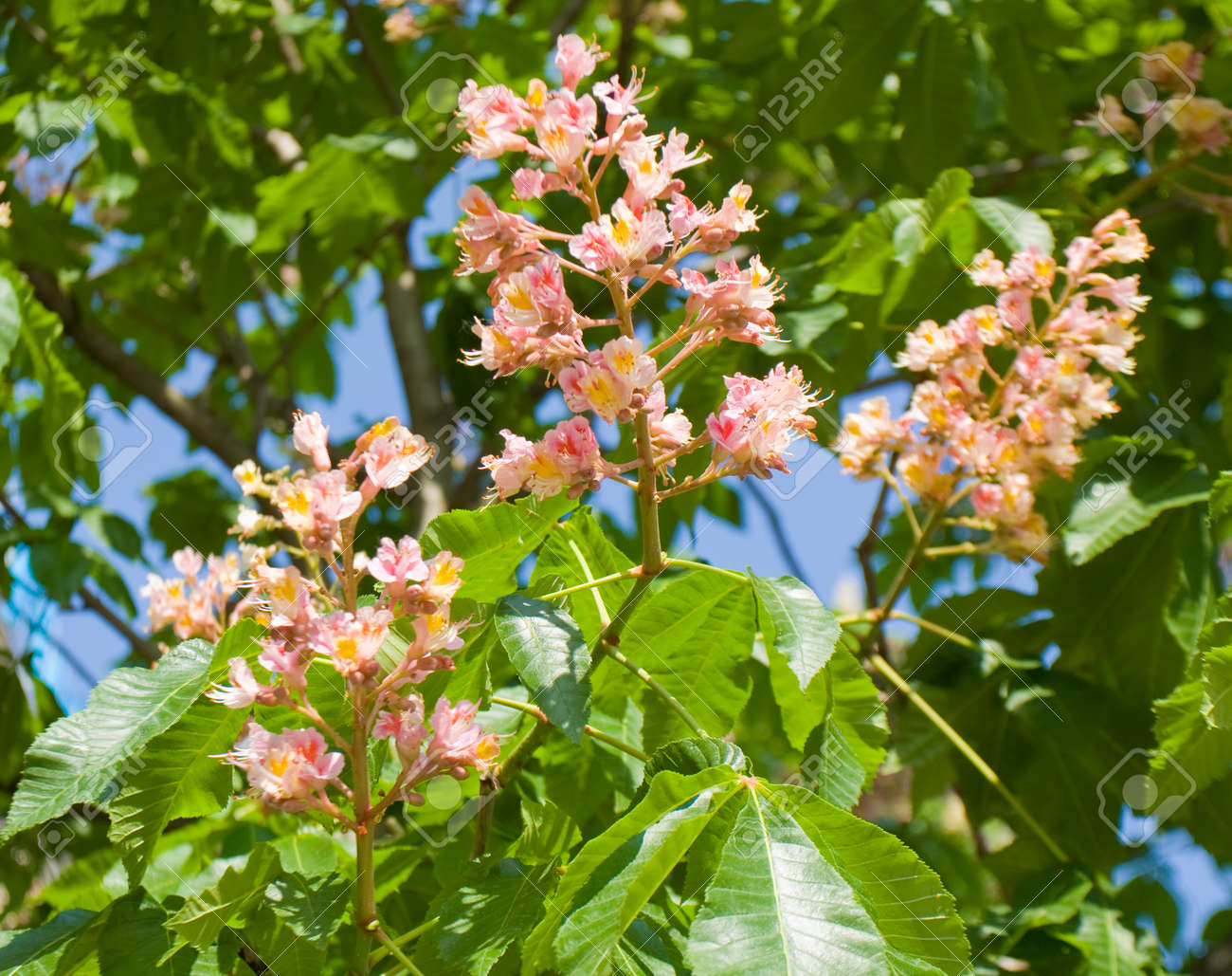 Three flowers of chestnut tree pink colour stock photo picture and stock photo three flowers of chestnut tree pink colour mightylinksfo