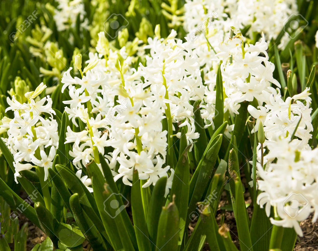 Flower Bed With Many Flowers Hyacinth Of White Colour Stock Photo