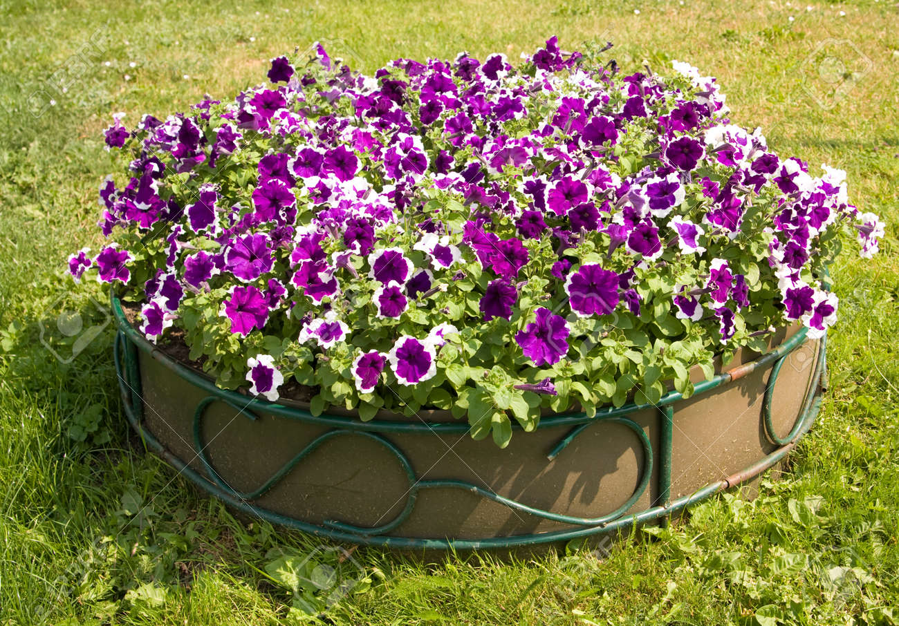 Flower Bed With Many Flowers Petunia Of Violet Colour With White
