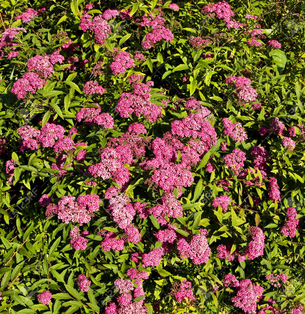 Spiree Japonaise De Couleur Rose Arbuste A Fleurs Banque D Images