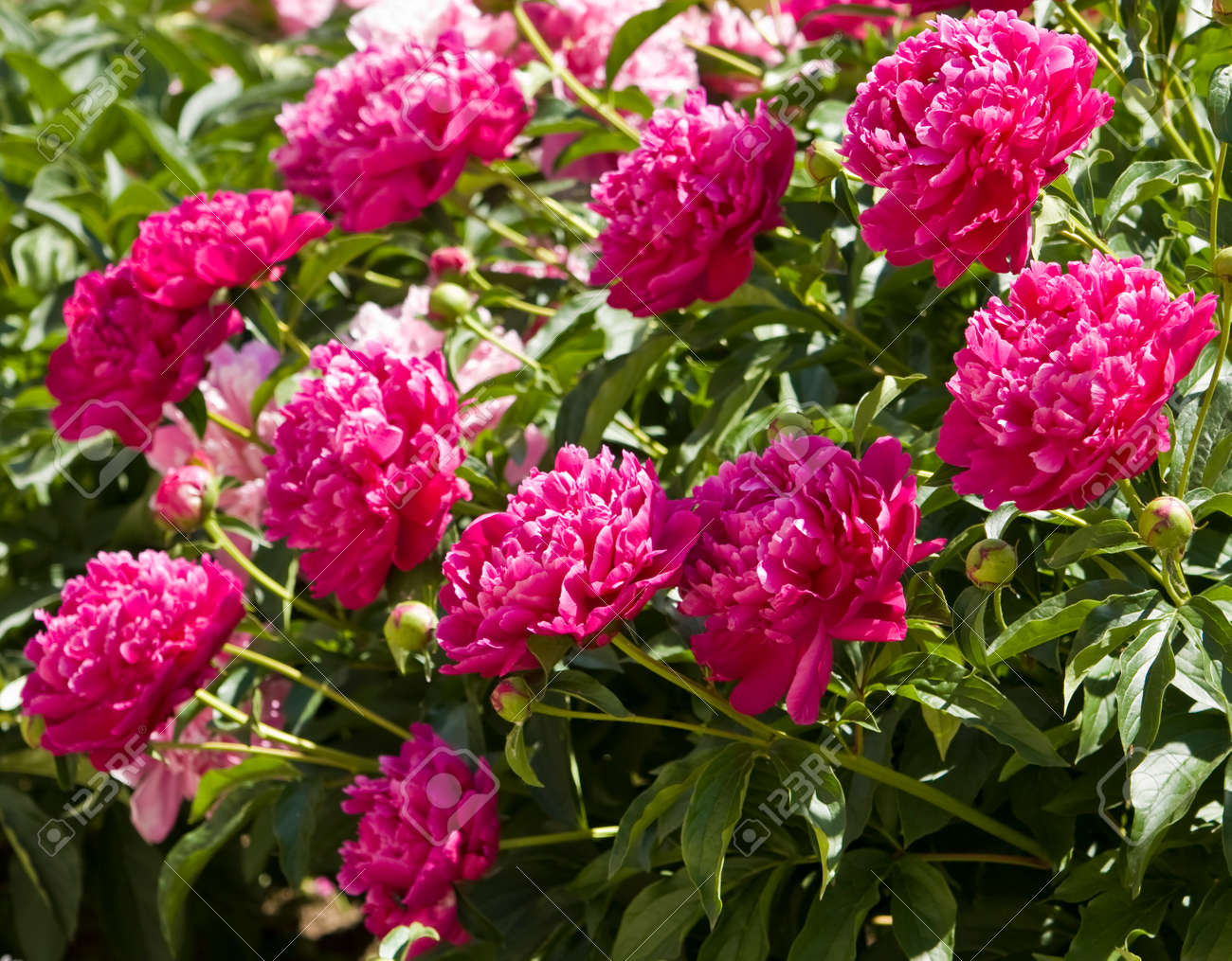 Shrub With Many Peony Flowers Of Crimson Rasberry Pink Colour