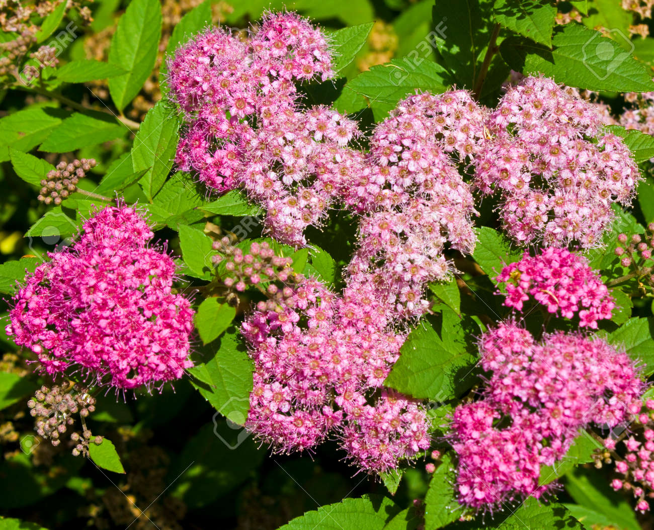 Few Pink Flowers Of Japanese Spirea With Green Leaves Stock Photo