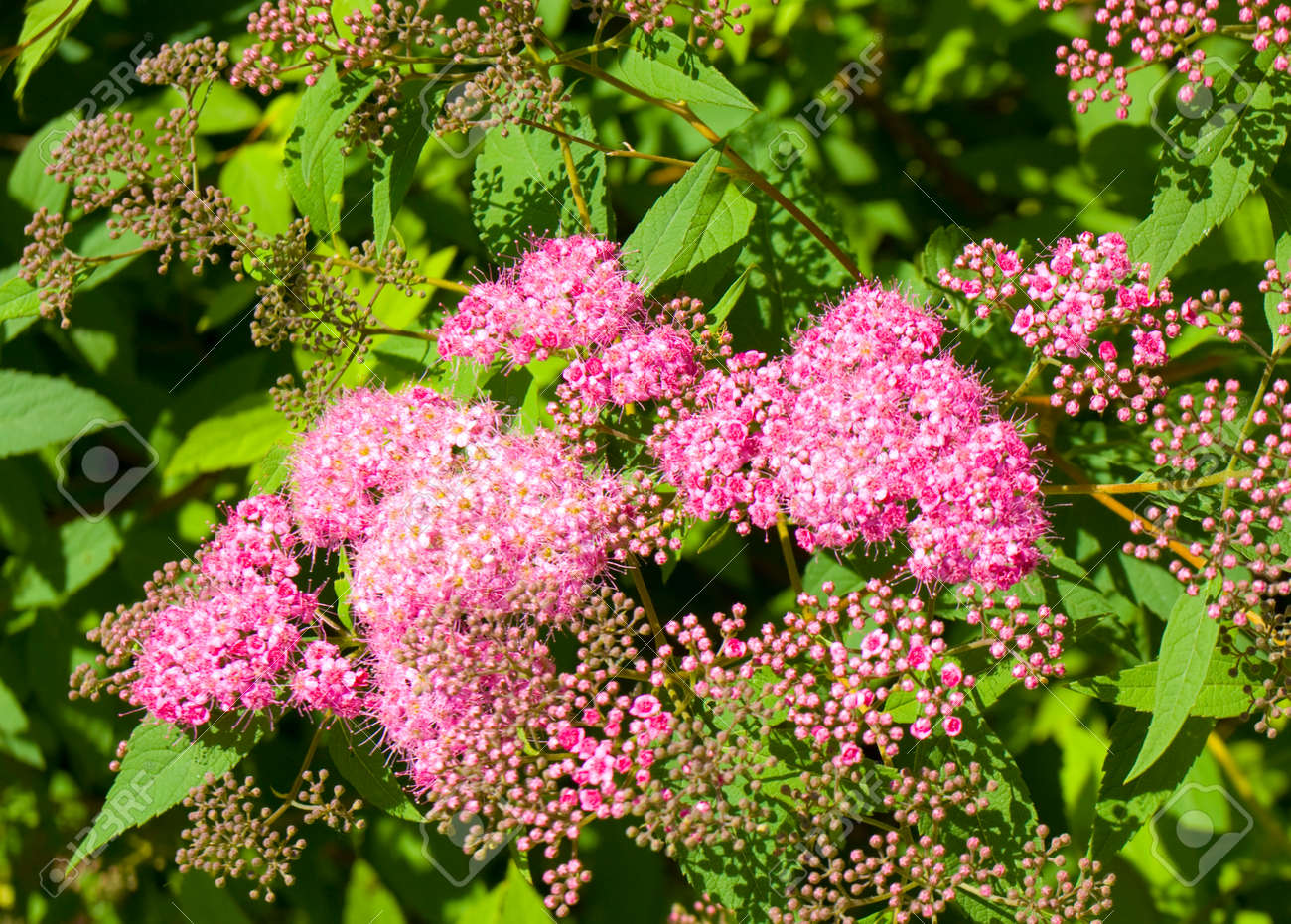 Flowers Of Japanese Spirea Of Pink Colour Stock Photo Picture And