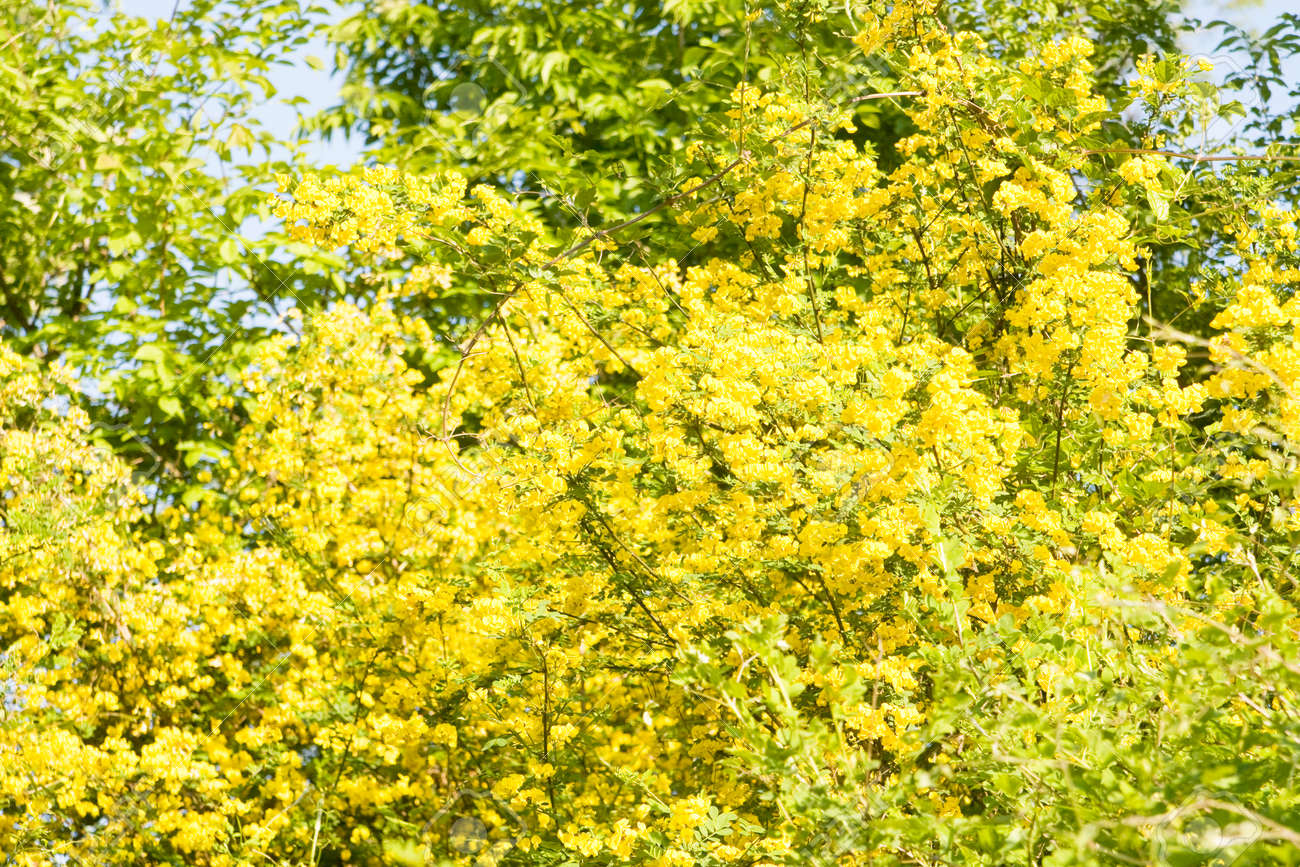 Shrub With Many Yellow Flowers Yellow Acacia Latin Name Caragana