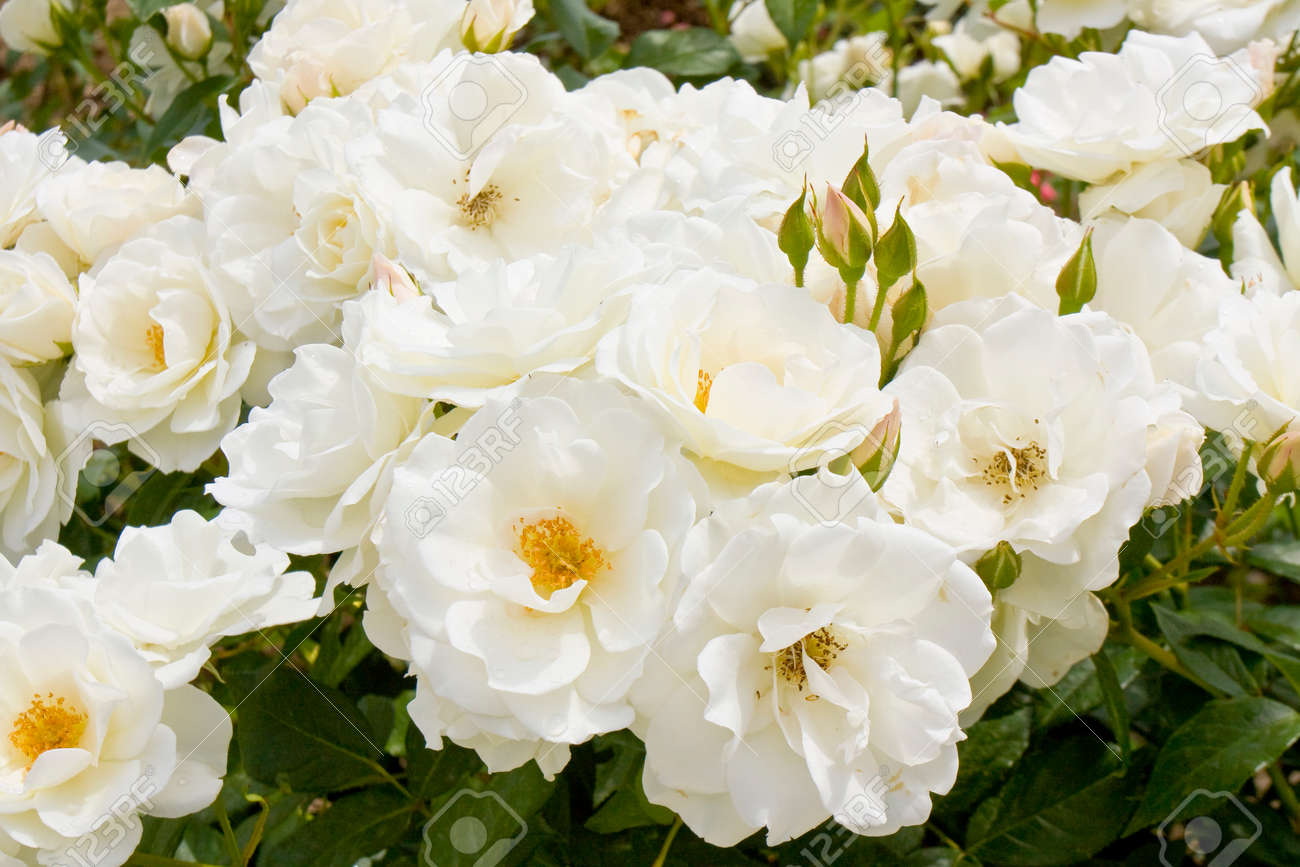 Many White Roses Together On Shrub. Stock Photo, Picture And Royalty ...