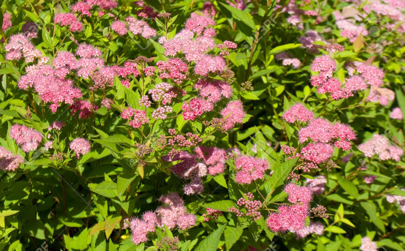 Beaucoup De Fleurs De Spiree Japonaise De Couleur Rose Sur Un
