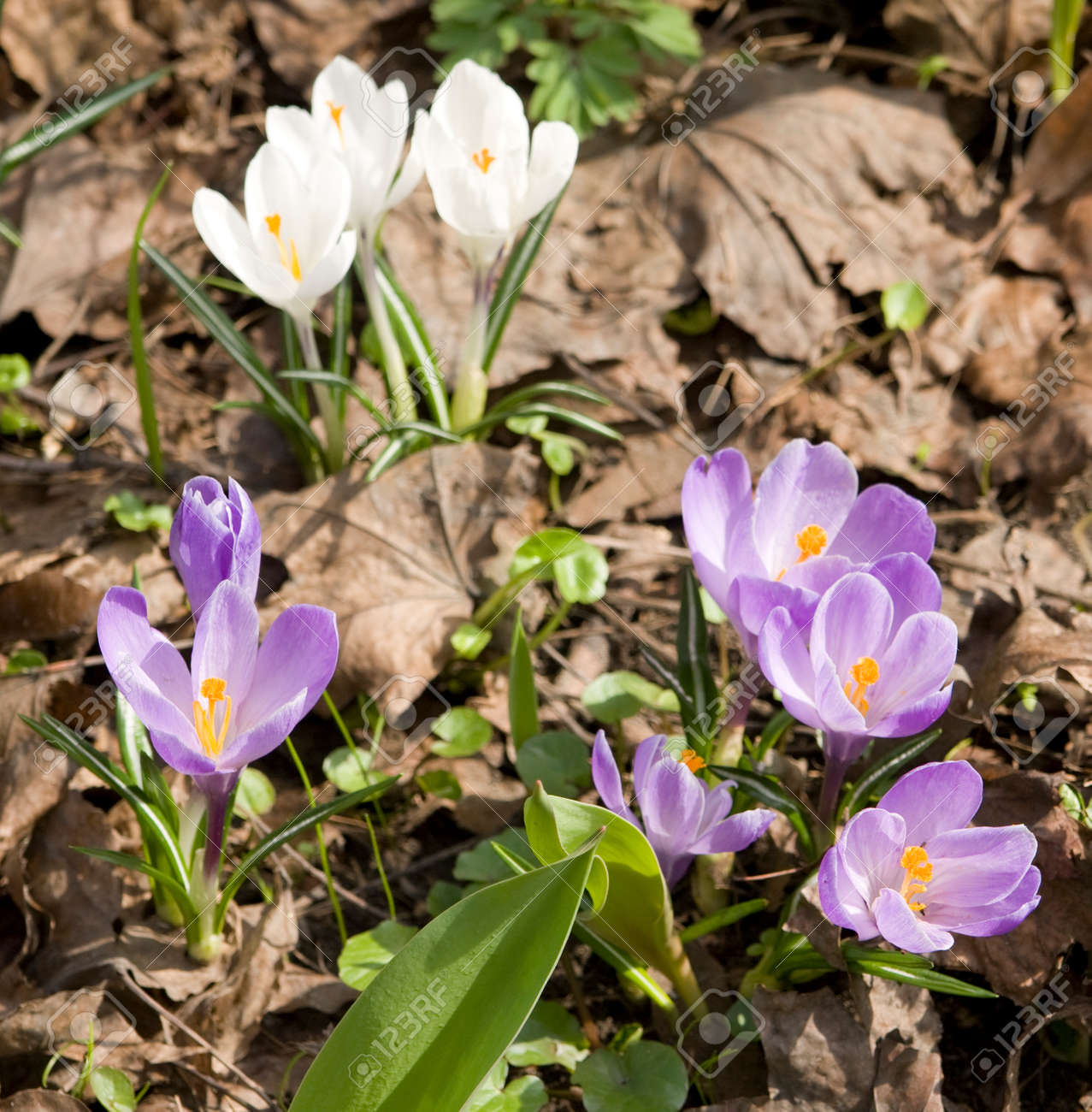 Few First Spring Flowers Crocuses Of Purple And White Colour Stock