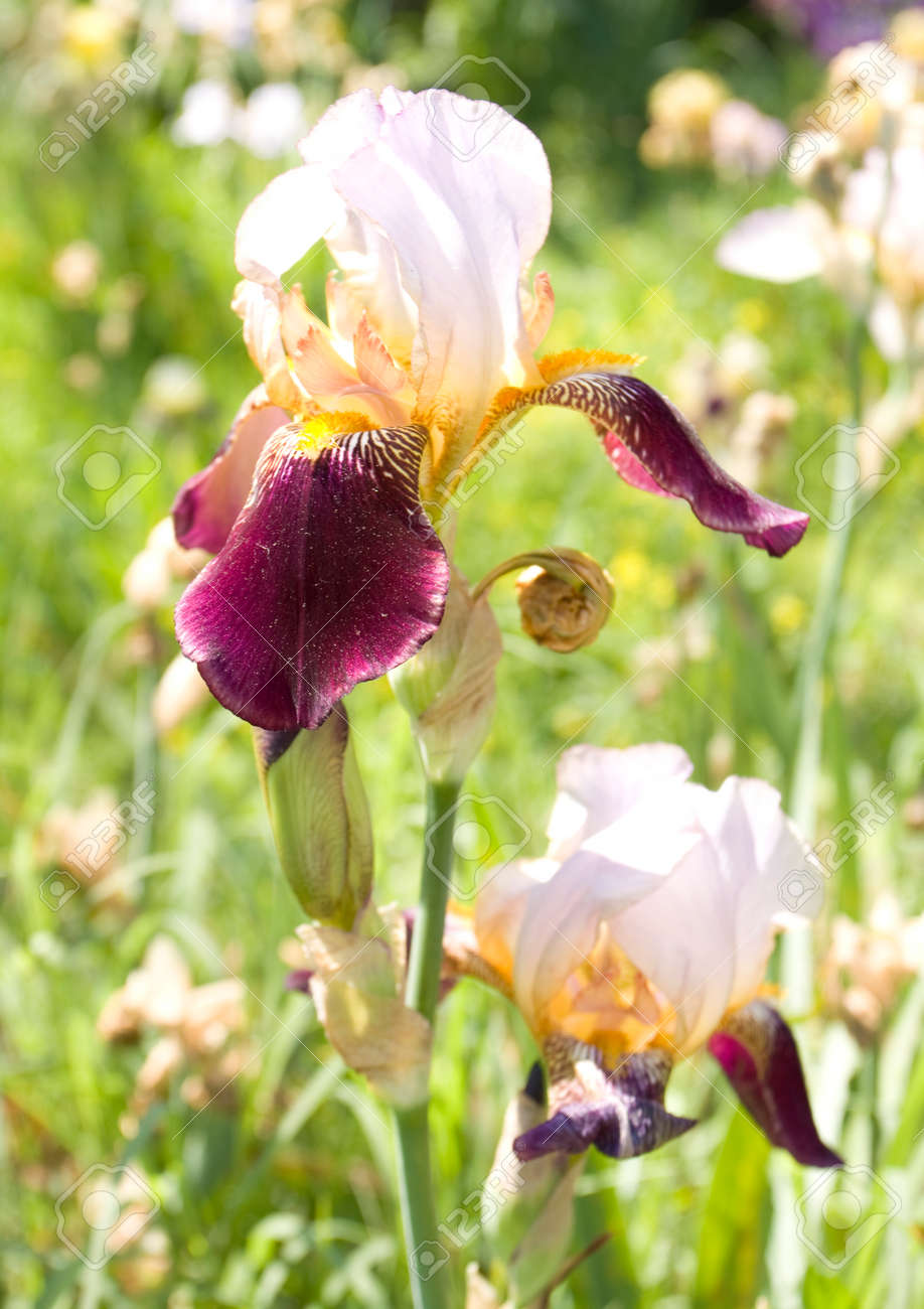Two Irises Of Double White And Violet Colors In Garden Stock Photo