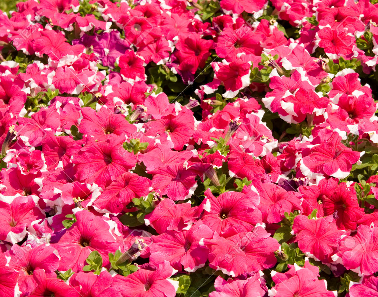 Flower Bed With Many Petunia Flowers Of Pink Color With White Stock Photo Picture And Royalty Free Image Image 51766487
