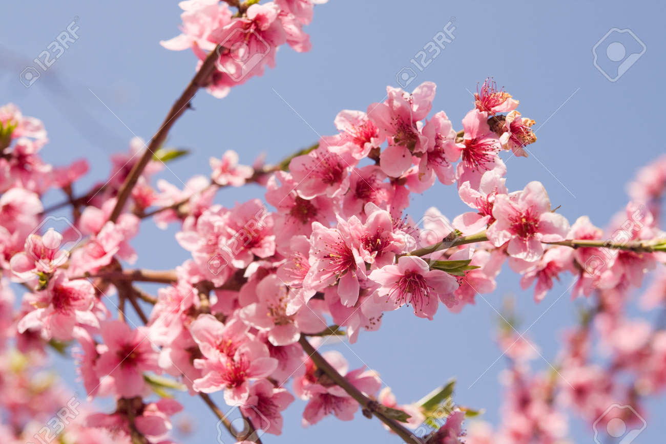 Branch Of Peach Tree With Pink Flowers On Blue Sky Stock Photo