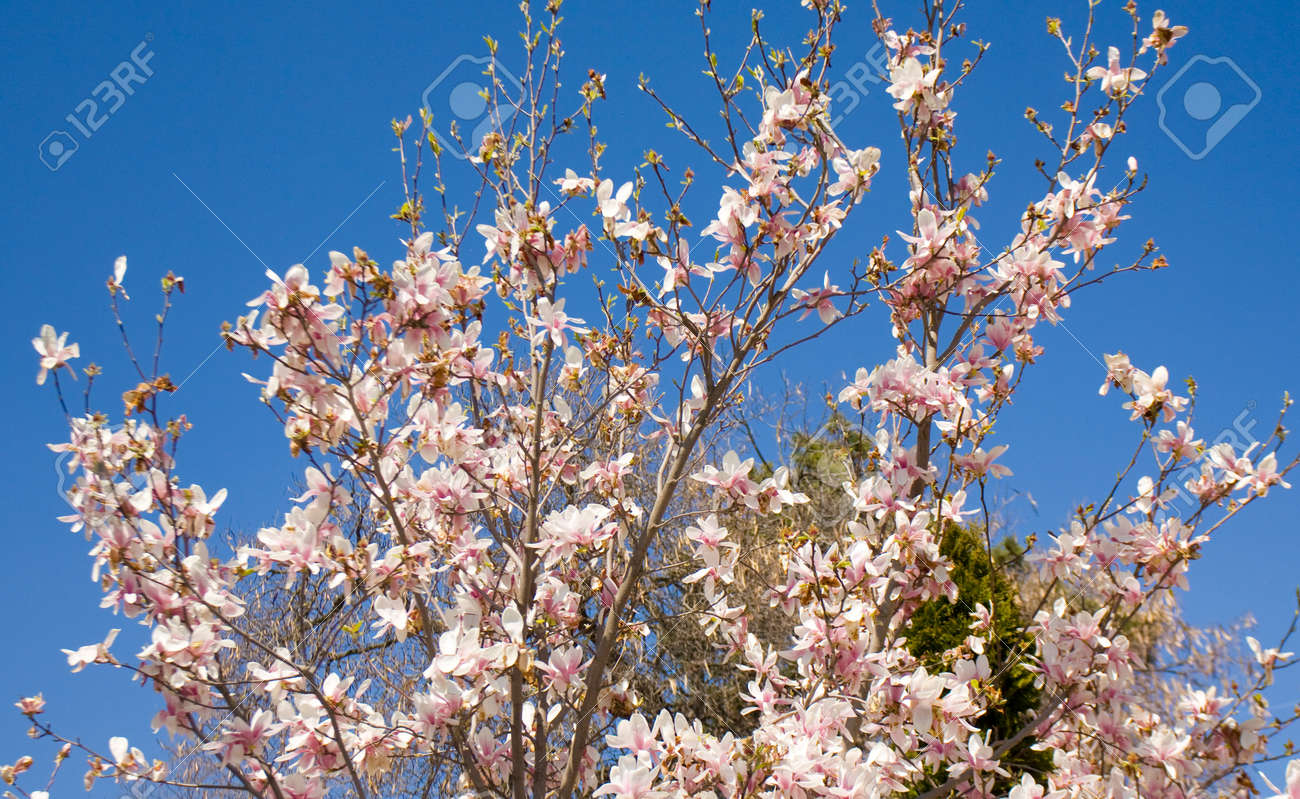 Branches Of Magnolia Tree With Pink White Colour Flowers On Blue