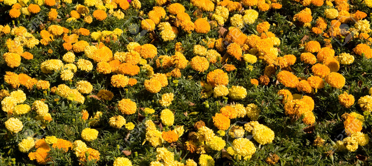 Yellow And Orange Marigold Flowers Stock Photo Picture And Royalty