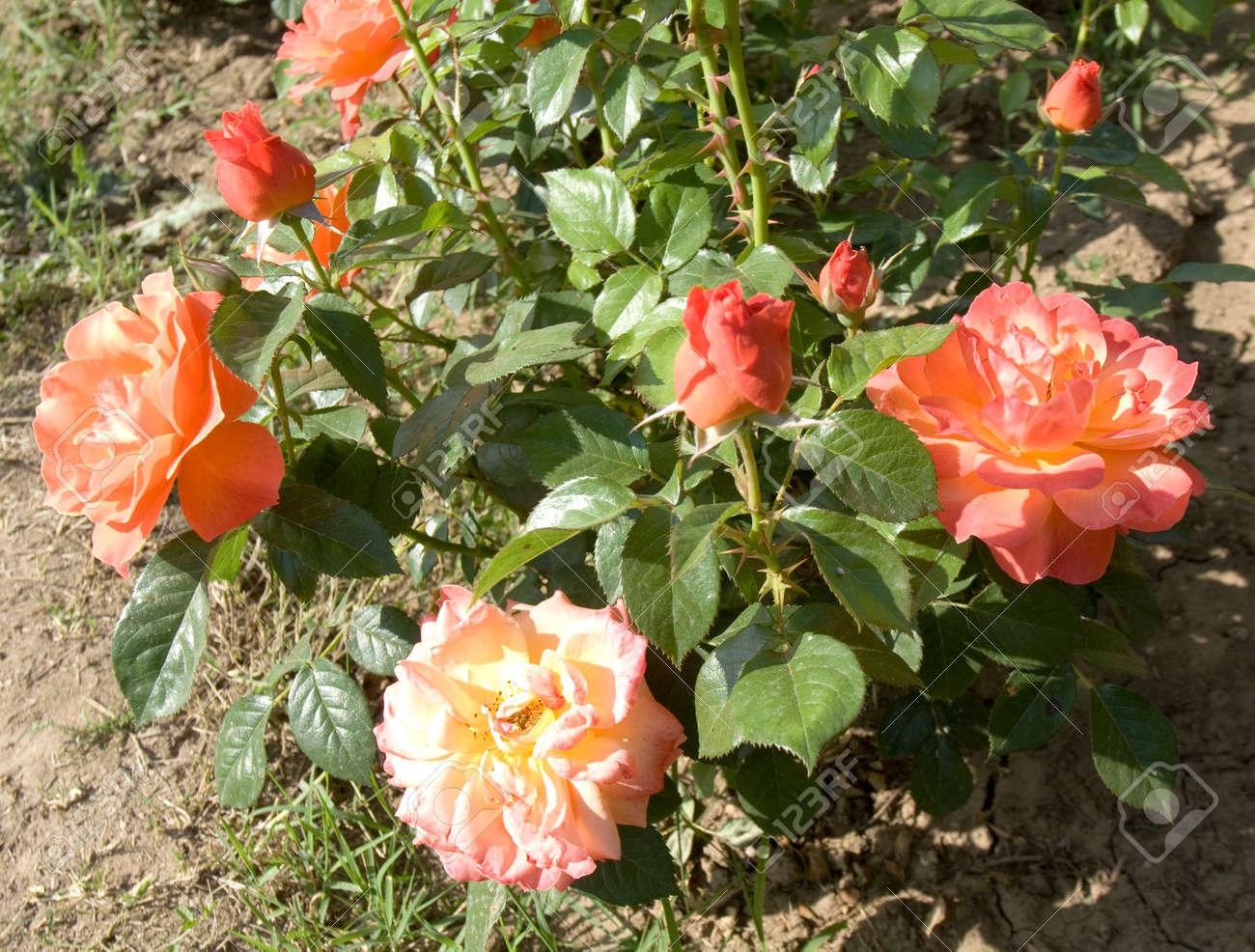 Arbusto Con Rosas De Color Rosa En El Jardín. Fotos, Retratos ...