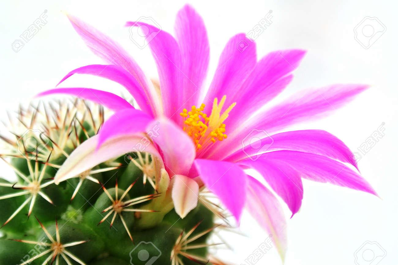 cactus fleur rose sur fond blanc banque d'images et photos libres