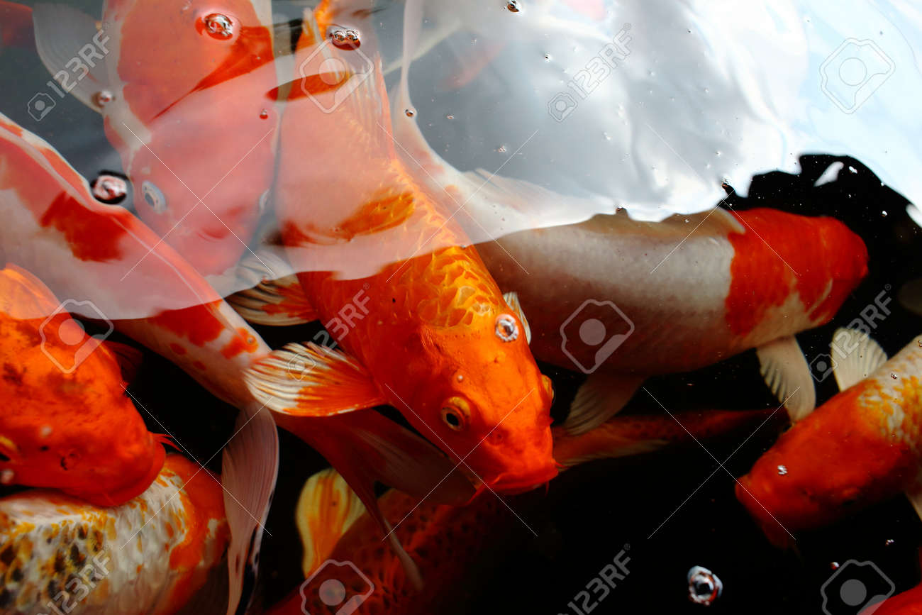 Various Color Koi Fish Swimming In Pool Stock Photo, Picture And ...