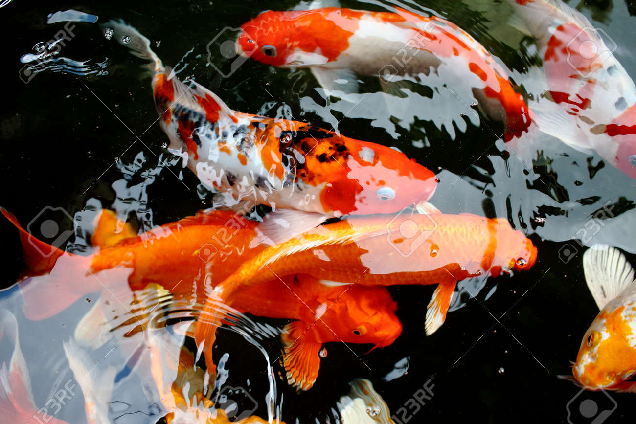 Unique Color Koi Fish Pictures - Drawing Coloring - androidharga.info