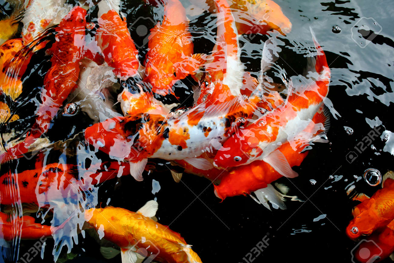 various color koi fish swimming in pool