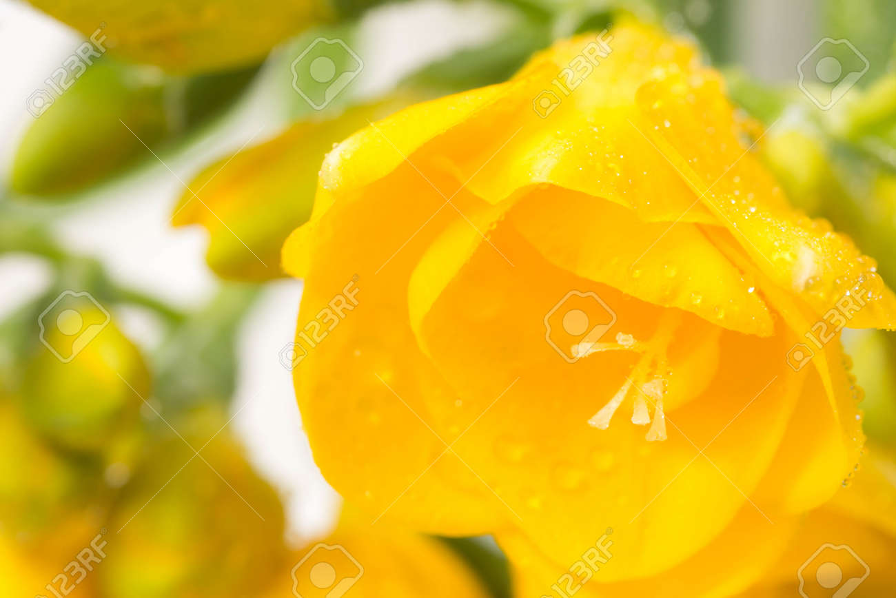 Closeup To Yellow Freesia Flowers Stock Photo Picture And Royalty