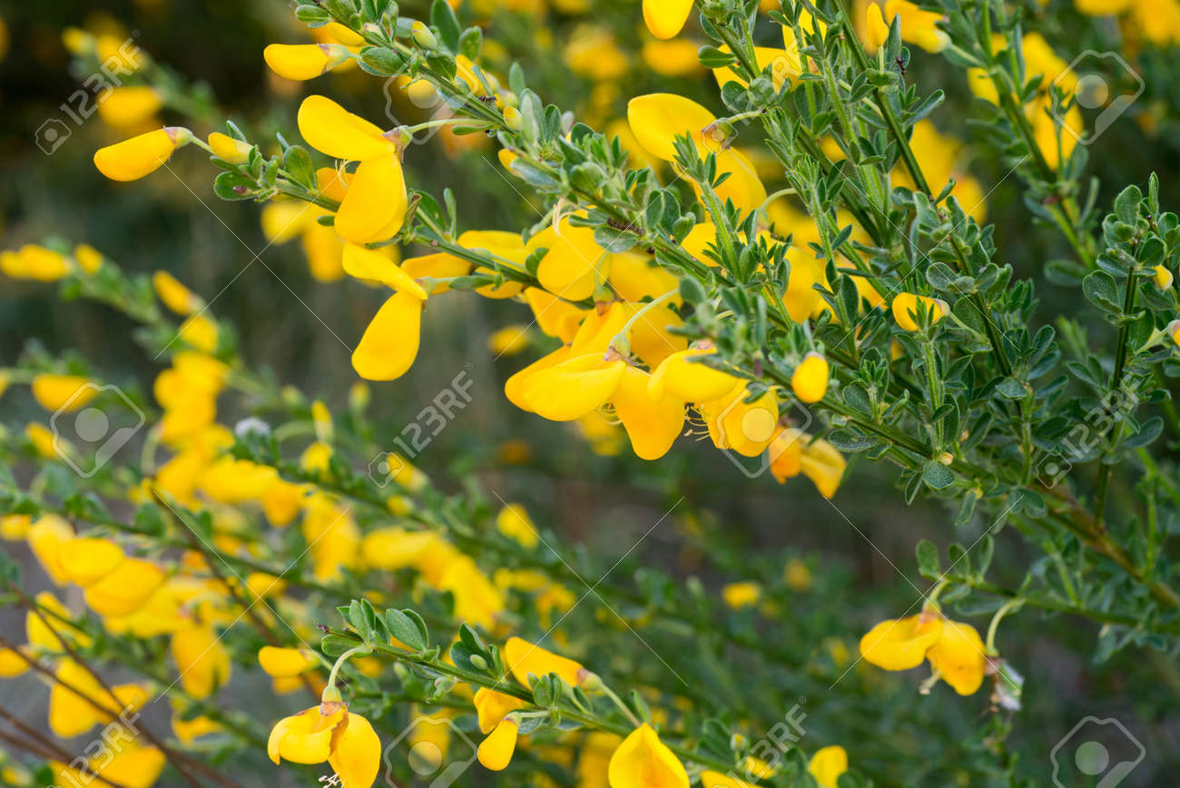 Cytisus Scoparius Common Broom Or Scotch Broom Yellow Flowers