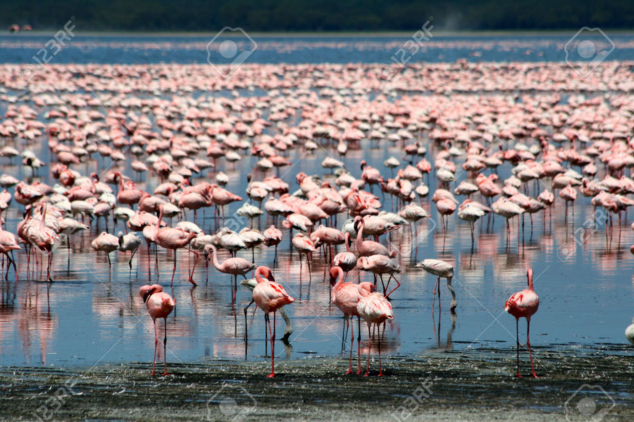 Lots of colorful flamingos in Nakuru lake, Kenya Stock Photo - 25354731
