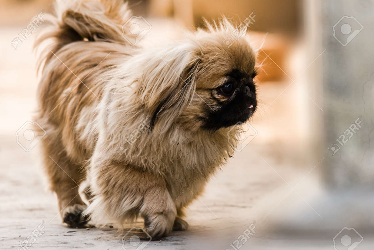 Pekingese also lion dog an ancient breed toy dog, from China,