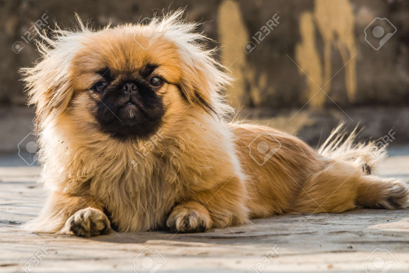 Pekingese puppies also lion dog an ancient breed toy dog, from