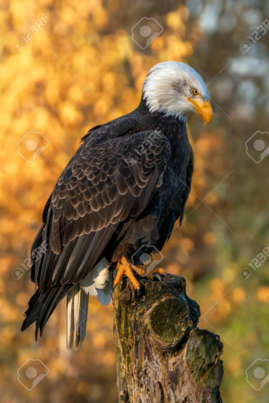 - Beautiful And Majestic Bald Eagle / American Eagle (Haliaeetus