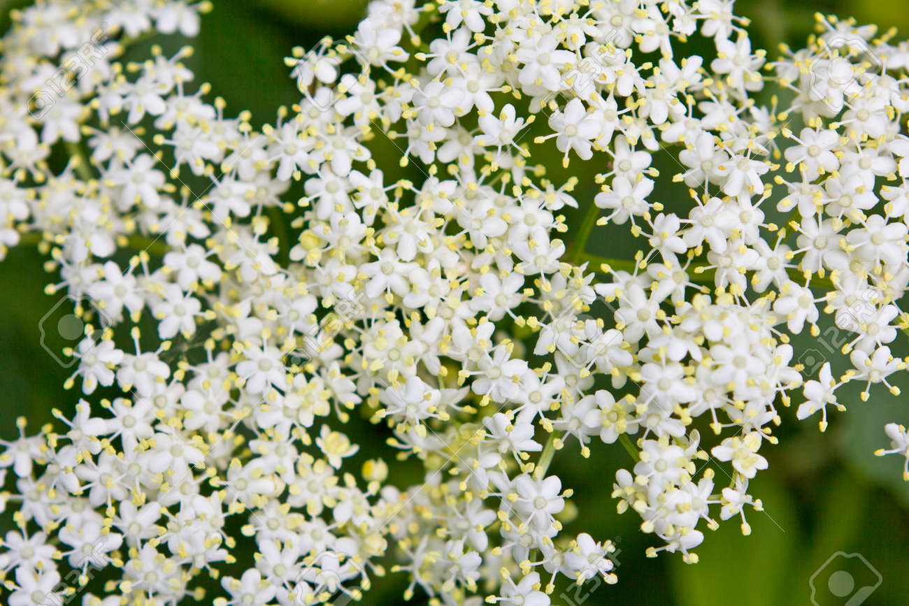 close-up d'une ombelle ou inflorescence de fleurs de sureau blanc