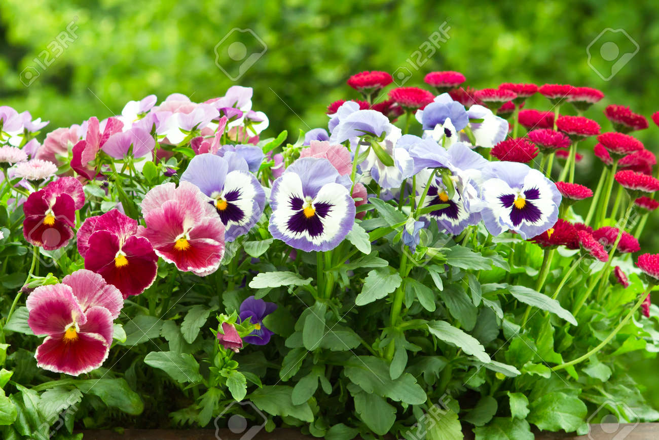 Pansy and daisy flowers in red and blue in full bloom - 34429318