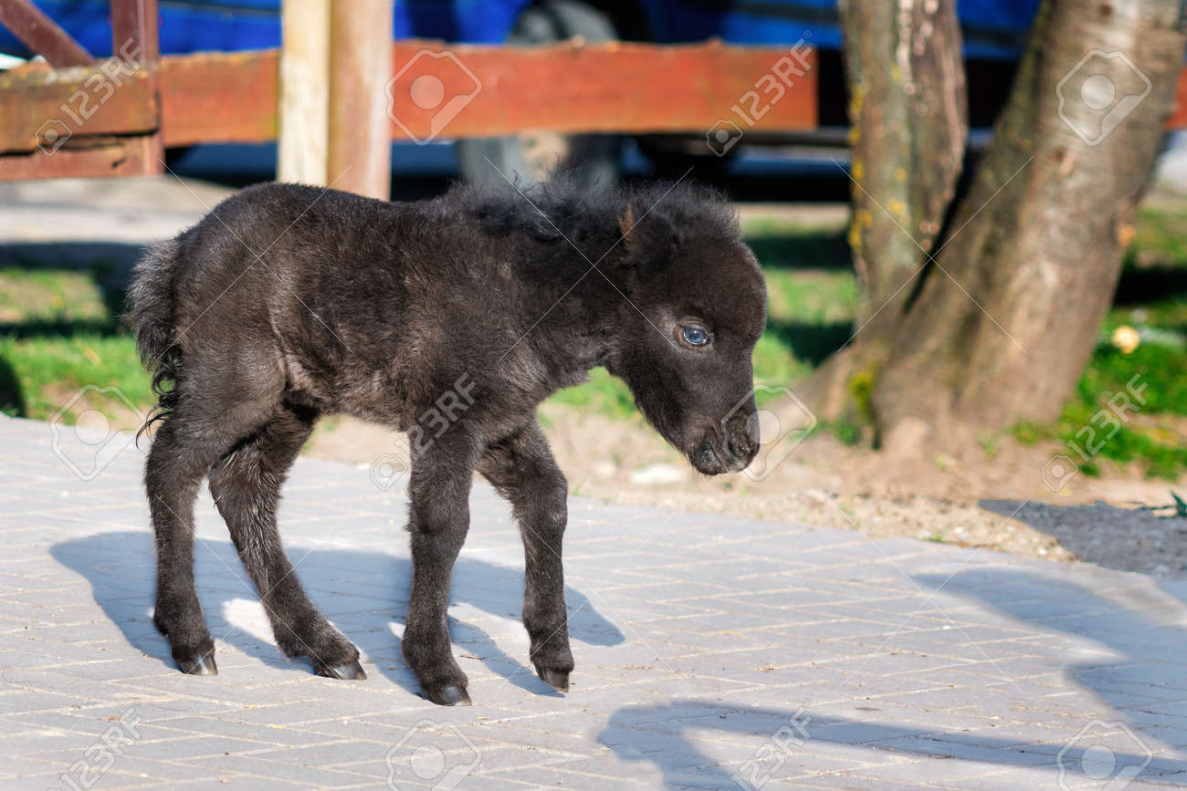 Black Baby Miniature Horse On Sunny Spring Day In The Yard Stock Photo Picture And Royalty Free Image Image 144837510