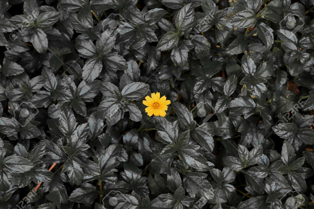 A Yellow Little Daisy Flower On Dark Leaves Background Conceptual