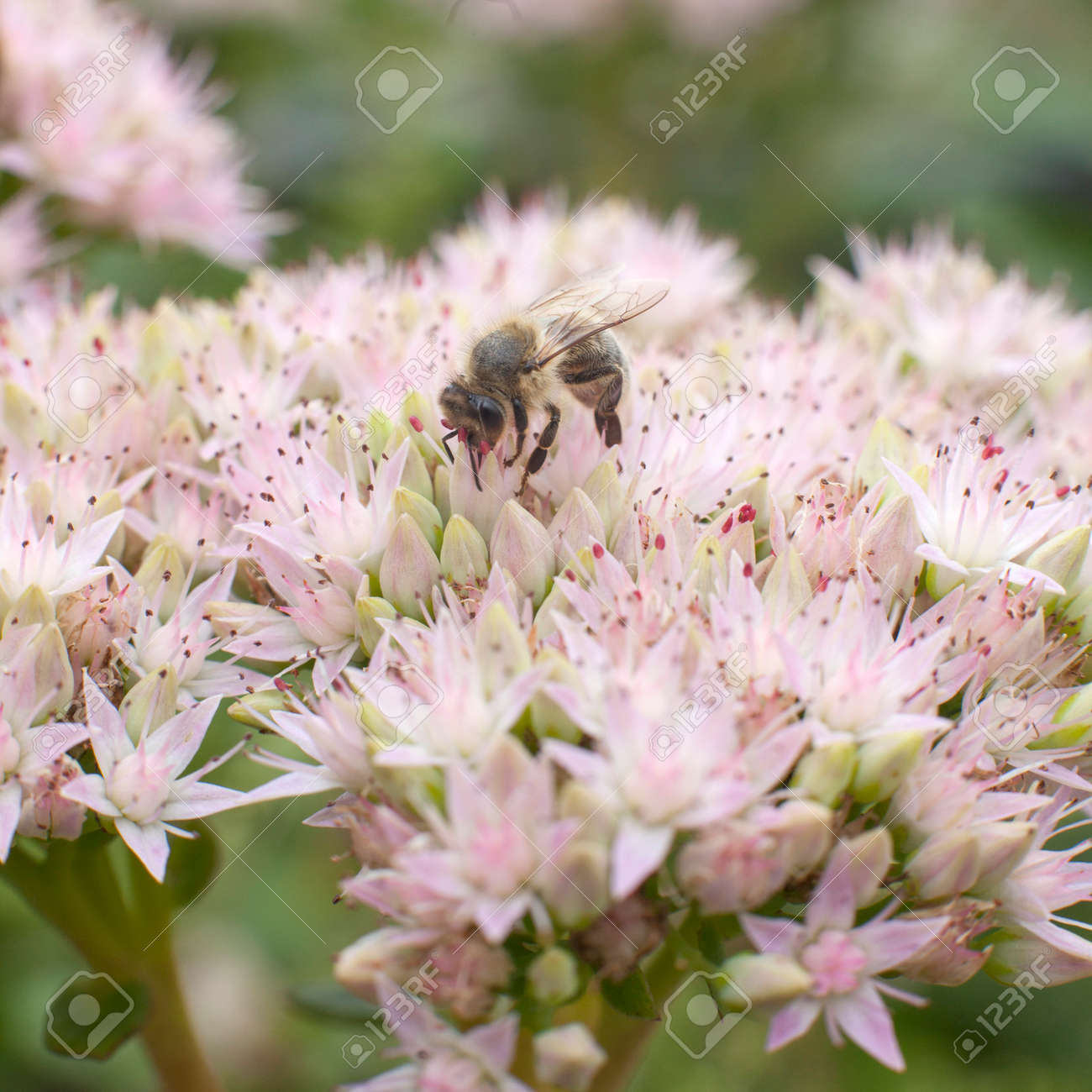 Bee Collecting Nectar On Light Pink Flower Of Sedum Stock Photo