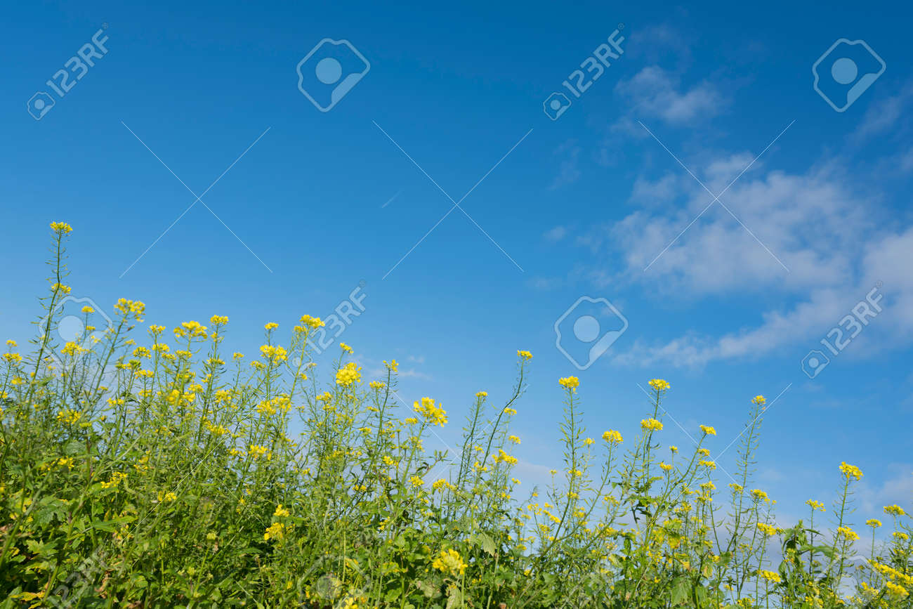 Yellow Flowers Of Mustard Seed In Field With Blue Sky Stock Photo