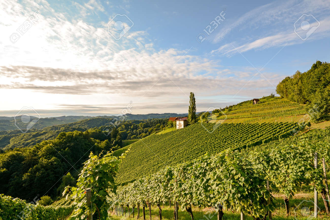 Landscape with wine grapes in the vineyard before harvest, Styria Austria Europe - 50234806