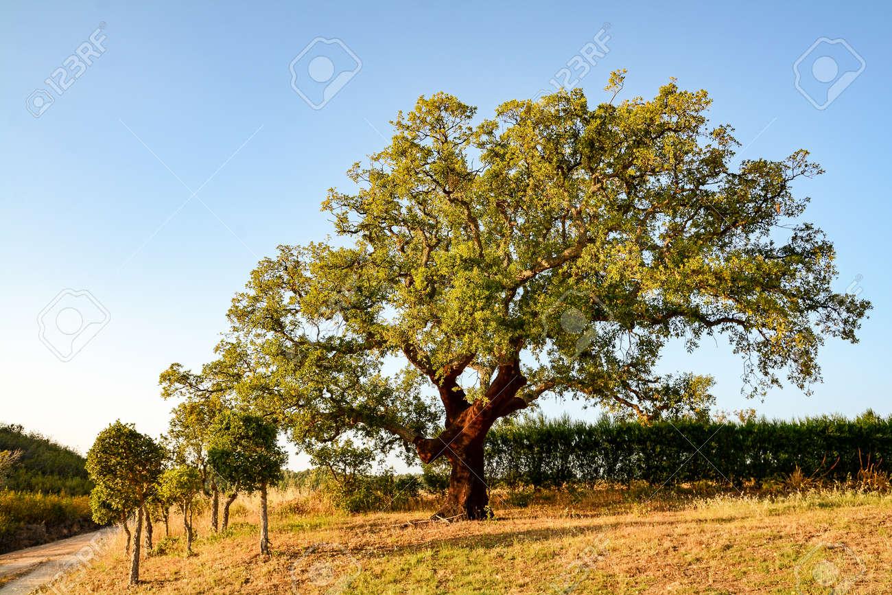 コルクガシの木 (コナラ スーバ...