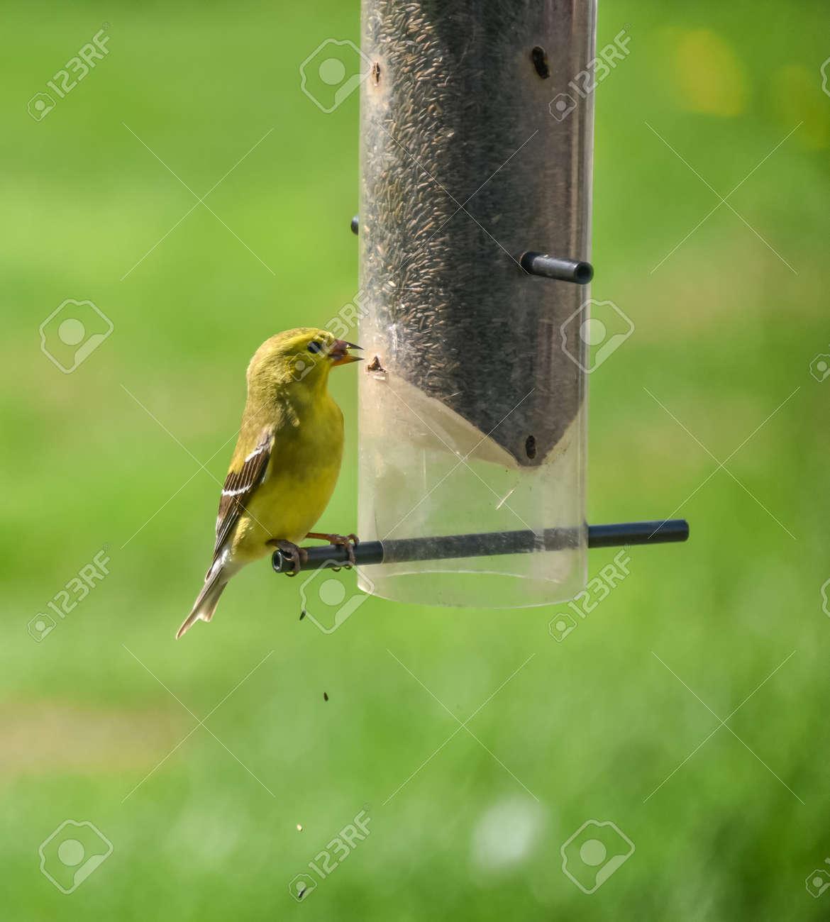 Little Yellow Bird >> Little Yellow Birds American Goldfinches Spinus Tristis Feeding