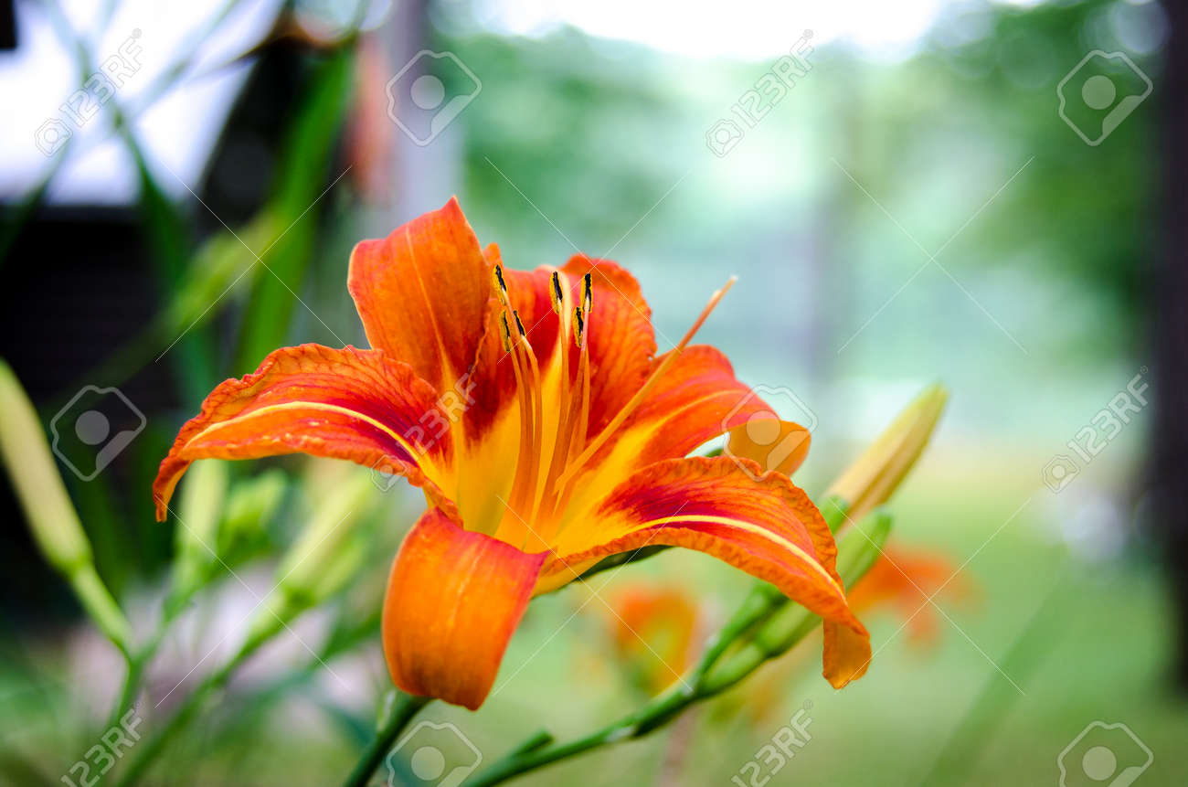 Tiger Lily Flower In A Contrast Fiery Orange Bloom With Stamen