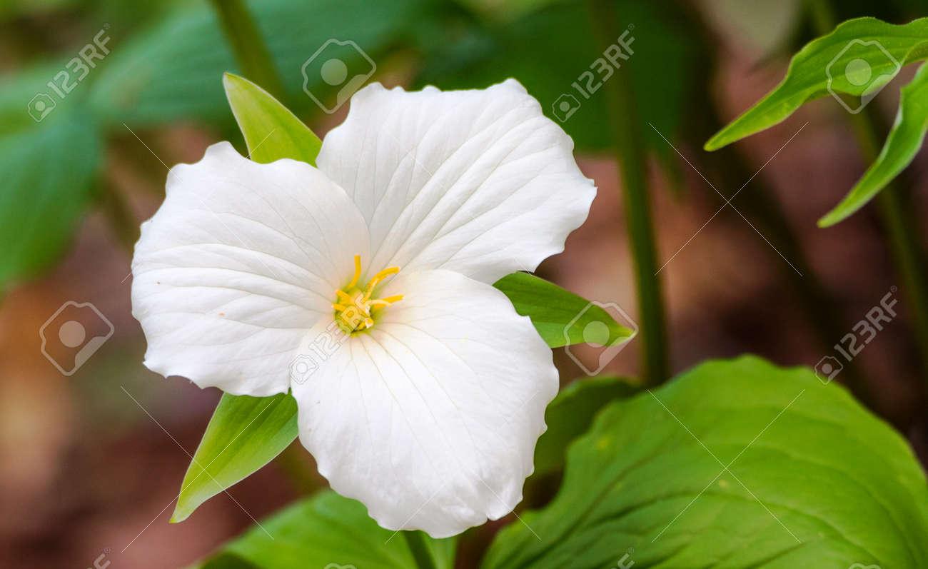 White Petals Of The Large Flowered White Trillium Trillium