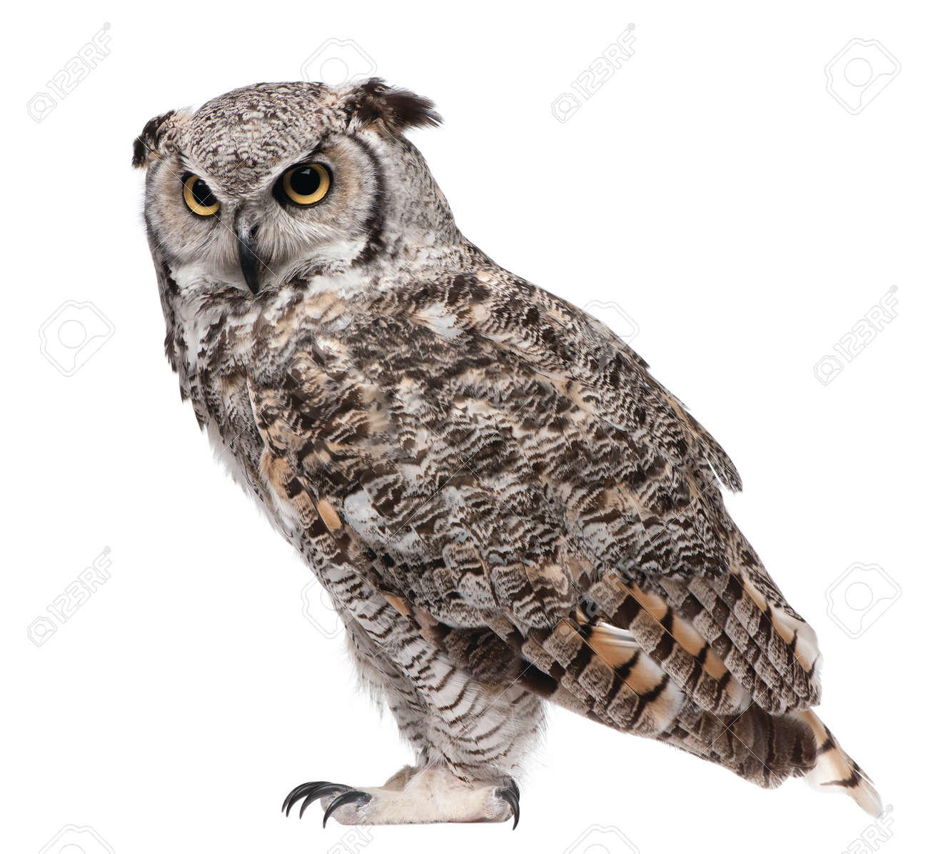 great horned owl isolated on white background - 115545943